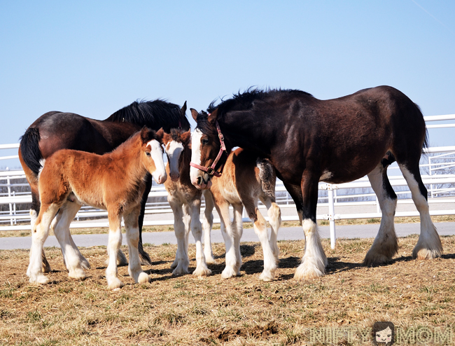 Warm Springs Ranch Clydesdales