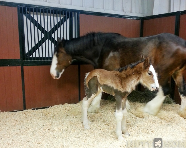 Warm Springs Ranch Newbown Clydesdale