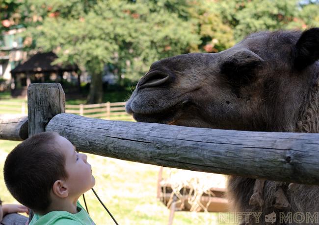 Grant's Farm Camels