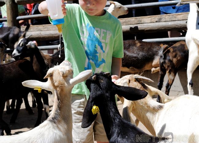 Grant's Farm Feeding Goats