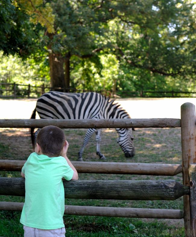 Grant's Farm Zebra